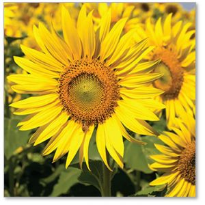 Field of Sunflowers Everyday Single Card