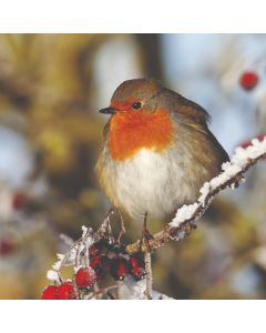 Robin and Red Berries