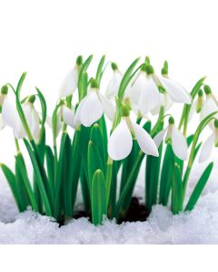 Snowdrops - Perennial Charity Christmas Cards