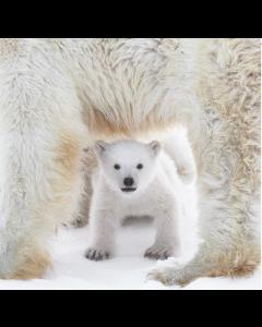 Polar Bear Cub - World Wildlife Fund (WWF) Charity Christmas Cards