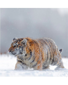 Tiger - World Wildlife Fund (WWF) Charity Christmas Cards