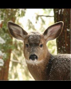 Deer - World Wildlife Fund (WWF) Charity Christmas Cards