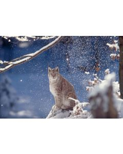 Lynx Photographic - World Wildlife Fund (WWF) Charity Christmas Cards